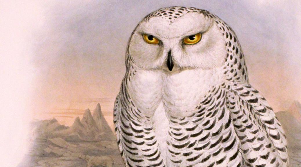 nyctea-nivea-snowy-owl-1260x700